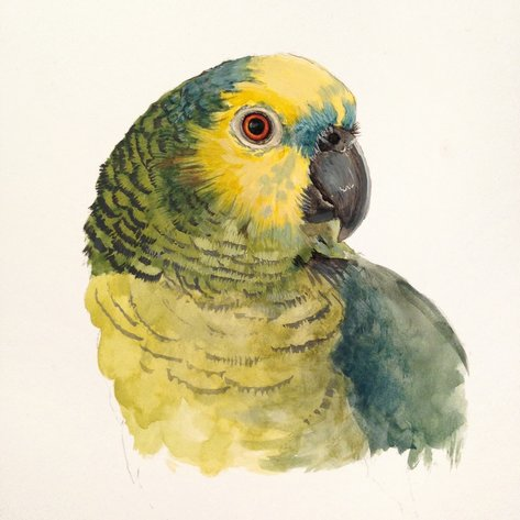 blue fronted amazon gouache painting